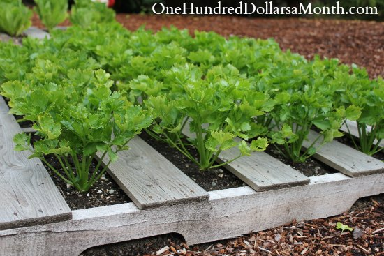 Pallet gardening planting swiss chard for What to grow in a pallet garden