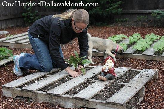 Pallet Gardening – Planting Swiss Chard