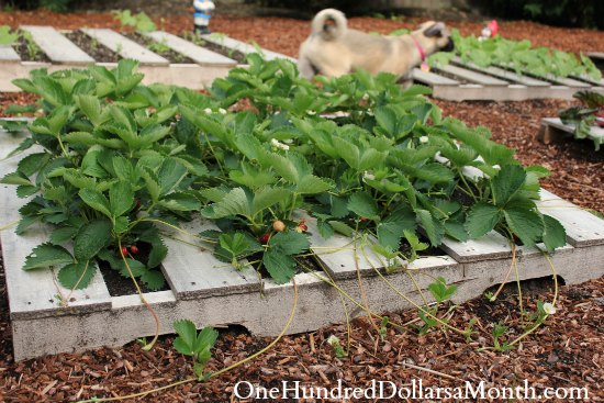 Strawberry pallet garden ideas photograph strawberry garde for Strawberry garden designs