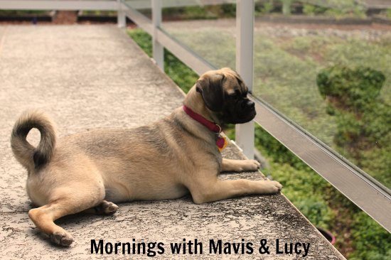puggle puppy mornings with mavis