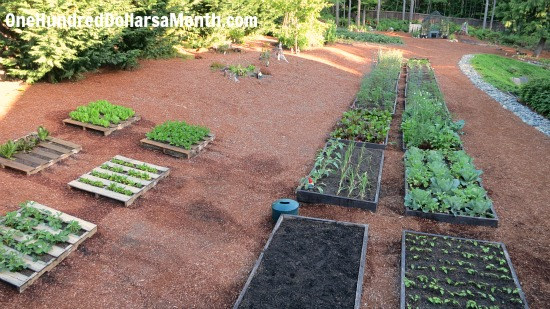 Mavis Butterfield | Backyard Garden Plot Pictures – Week 23 of 52