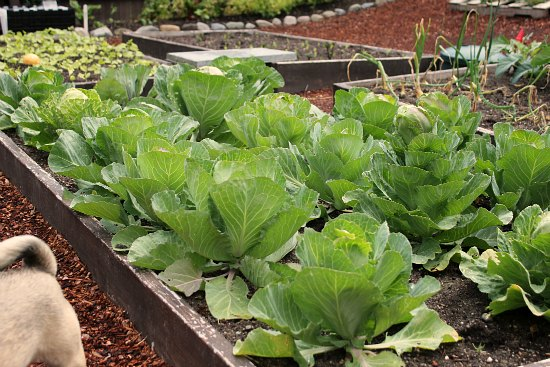 Raised Garden Beds – Cabbage, Beans, Tomatoes, Potatoes and Garlic