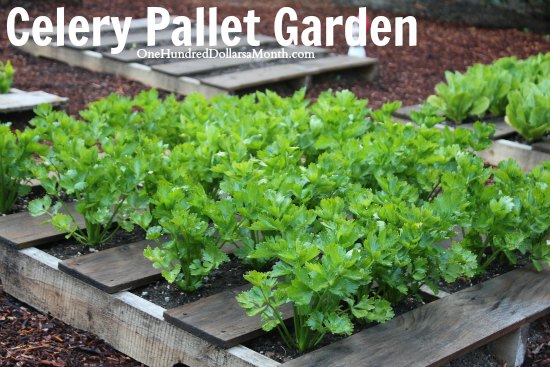 recycled wood pallet garden celery