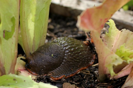 slug eating lettuce