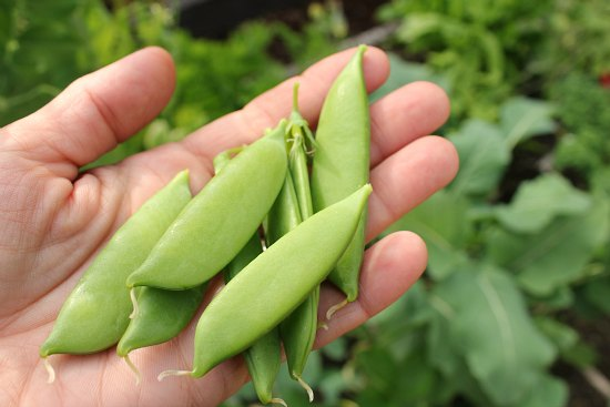 sugar snap peas