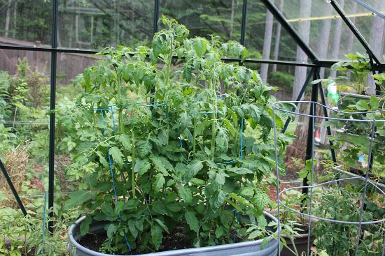 tomatoes in stock tank