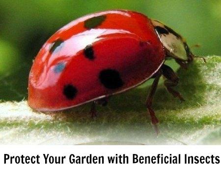 where can i buy ladybugs