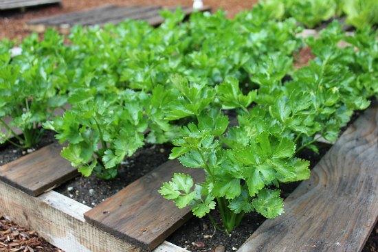 wood pallet garden celery