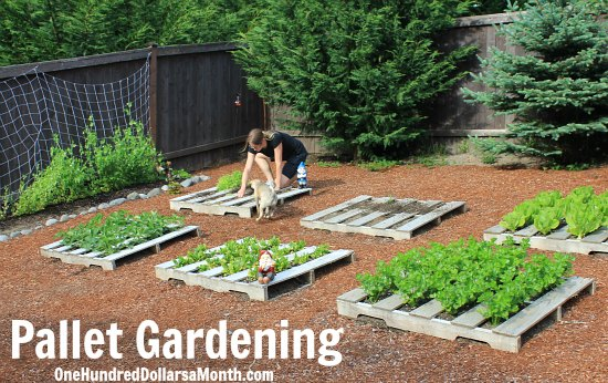 Wood Pallet Garden – Planting Dried Beans