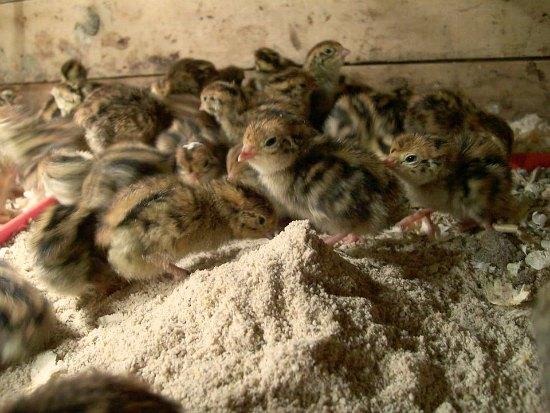 Baby Quail Eggs Hatching