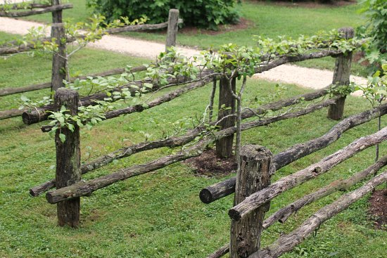 espalier trees on fence