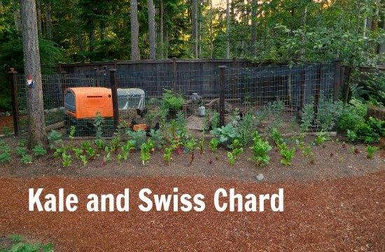grow kale and Swiss Chard