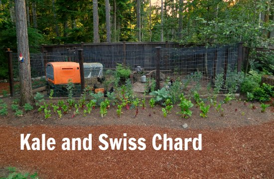 grow kale and Swiss Chard