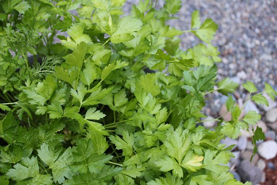 growing herbs in containers parsely
