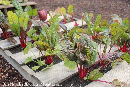 pallet gardening swiss chard