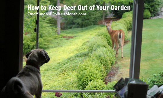 How to Keep Deer Out of Your Garden – Stop Feeding Them!