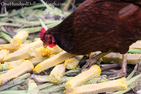 Rhode island red chicken eating corn