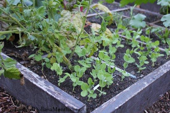 garden boxes peas