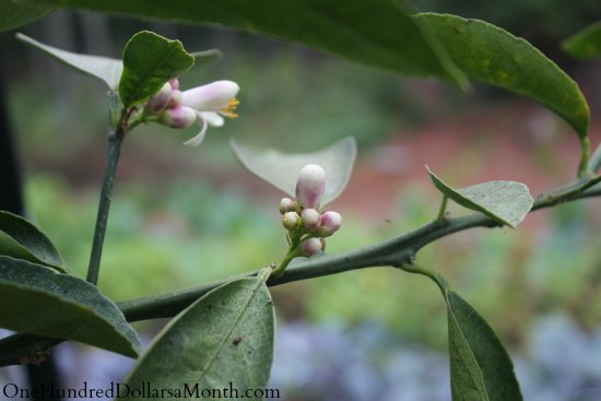 Growing Vegetables in a Greenhouse – Sugar Snap Peas