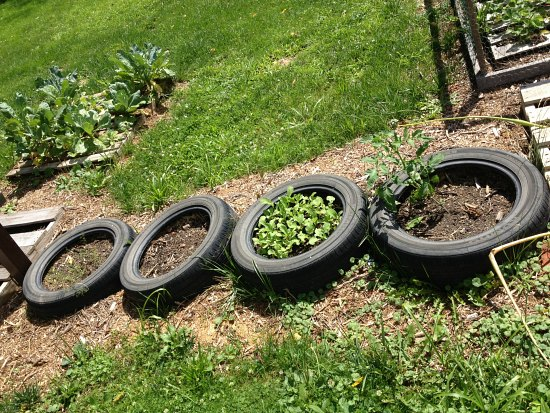 growing potatoes in tires