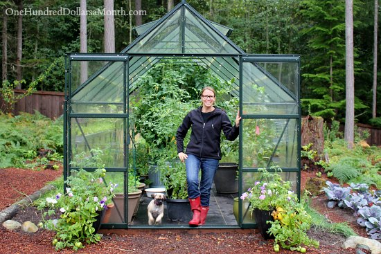 Growing Vegetables in a Greenhouse – Harvesting Tomatoes