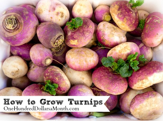 how to grow turnips
