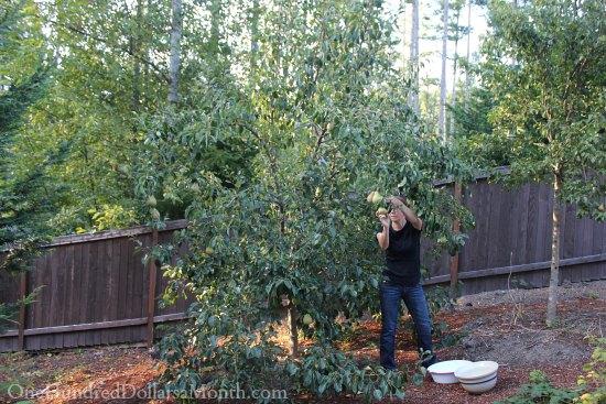 Mavis Garden Blog – Harvesting Pears
