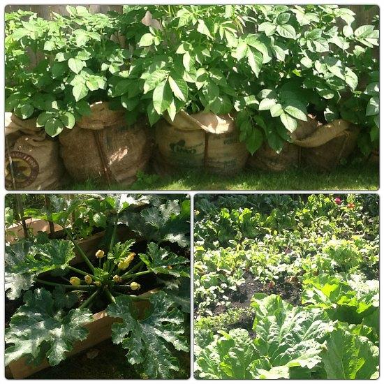 potatoes grown in burlap sacks