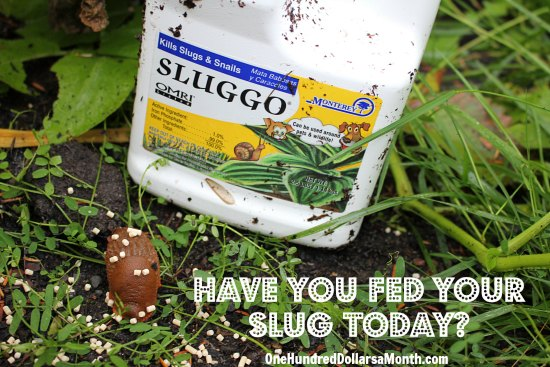sluggo for slugs