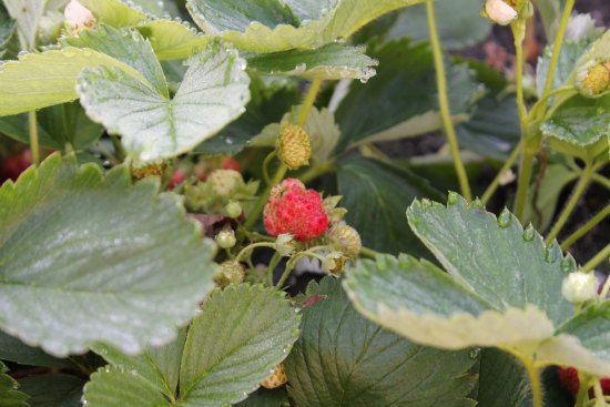 Strawberry Plant One Hundred Dollars A Month