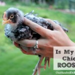 How Can I Tell If My Chick is a Rooster?