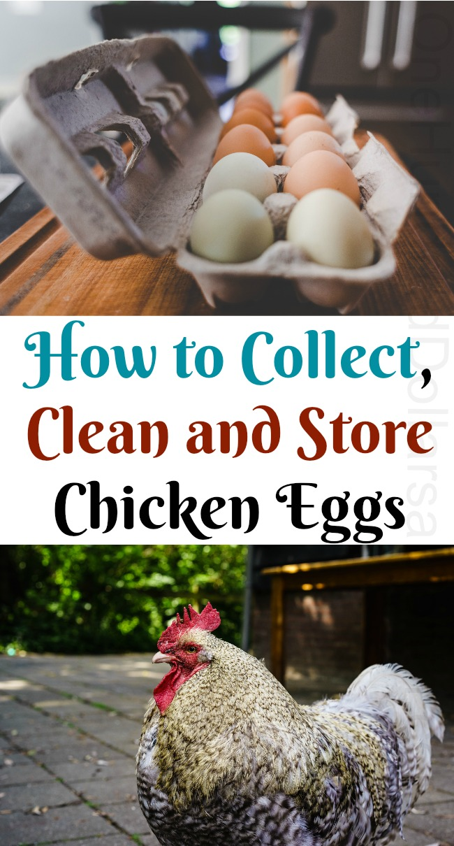 How to Collect, Clean and Store Chicken Eggs