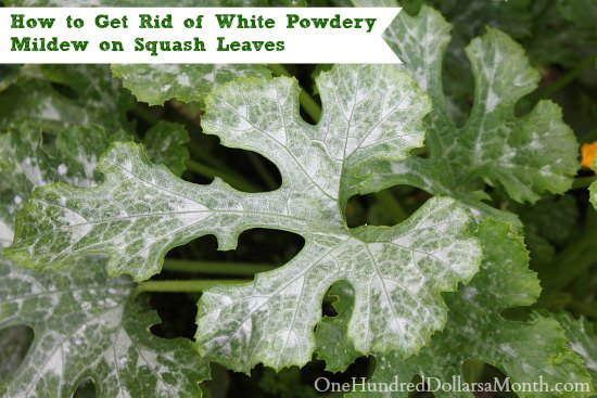 How to Get Rid of White Powdery Mildew on Squash Leaves
