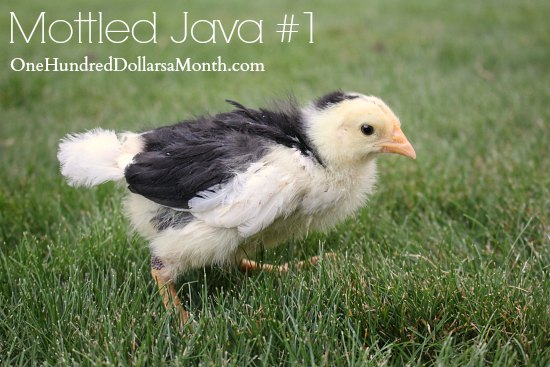 Mottled Java chick
