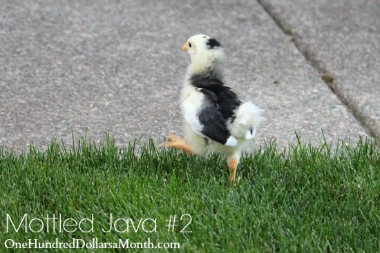 Mottled Java chicks
