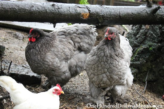 blue cochin chickens