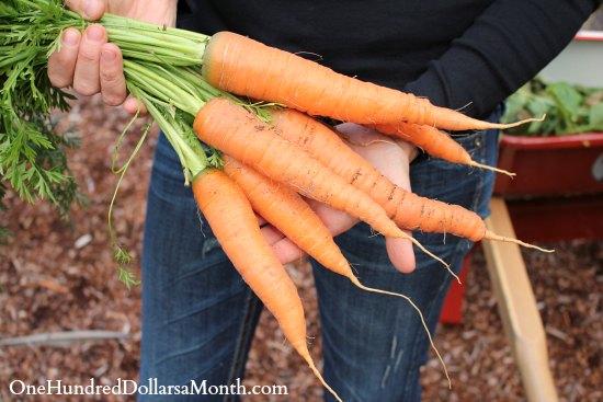 heirloom carrots
