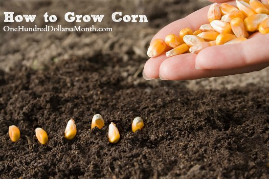 How to Grow Corn {Start to Finish}