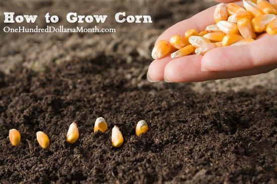 How to Grow Corn {Start to Finish}