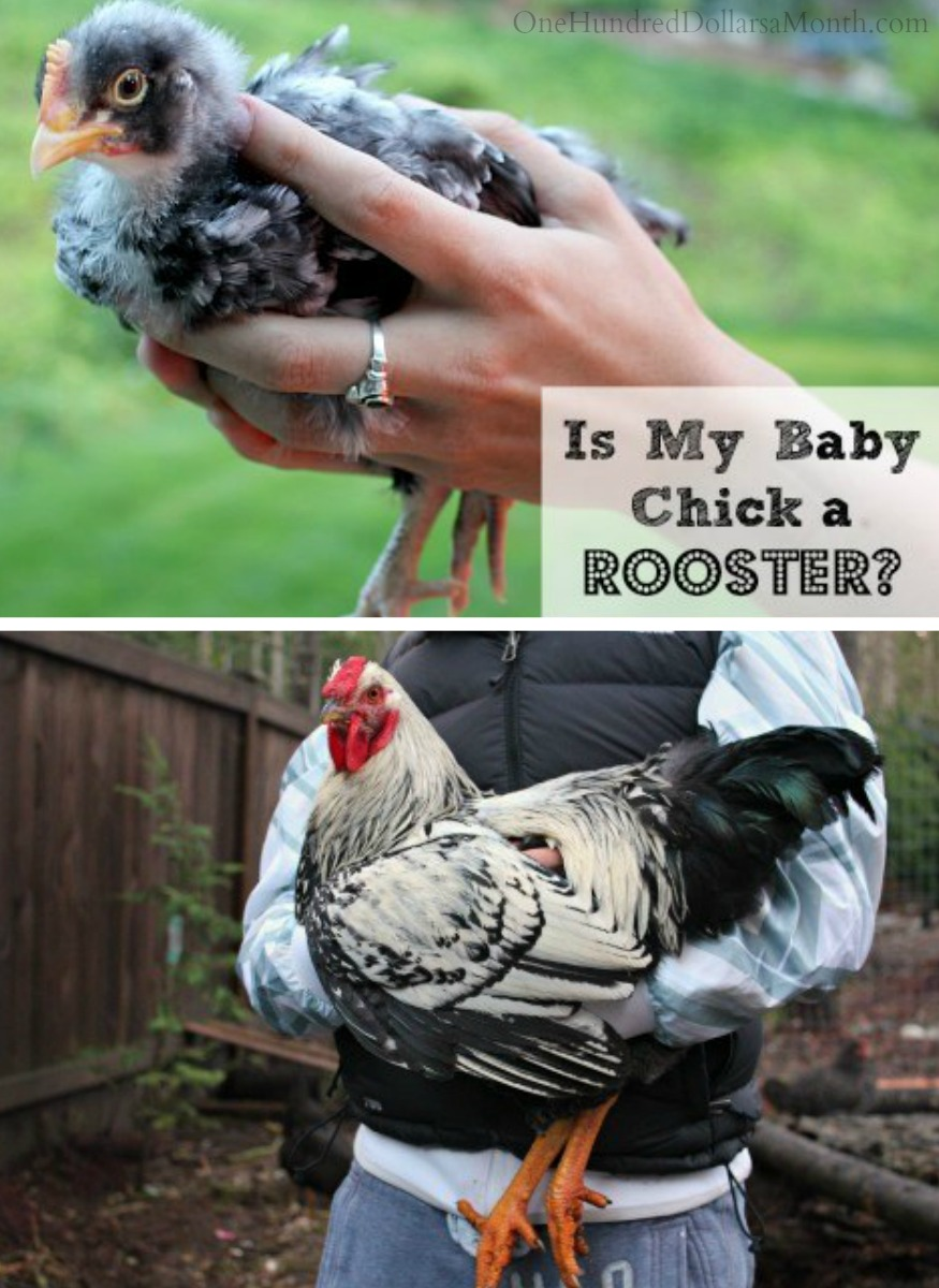 how can i tell if my chick is a rooster