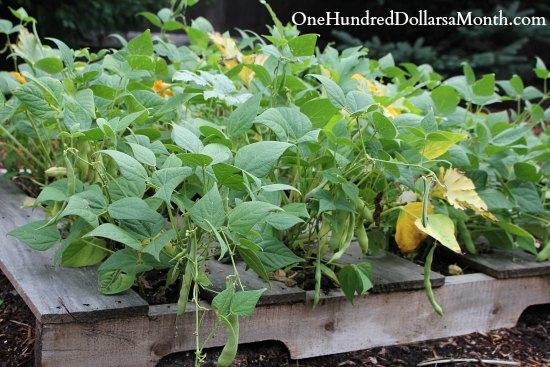 pallet garden beans