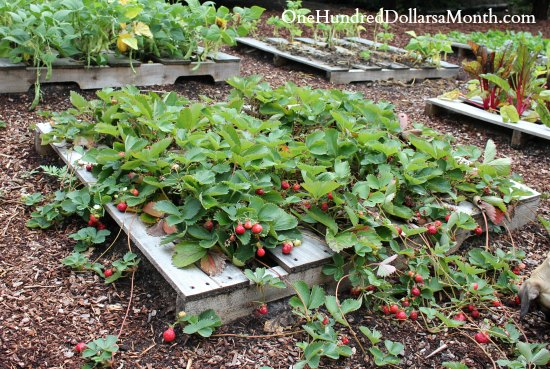 Pallet garden photos lettuce strawberries beans and chard for What to grow in a pallet garden