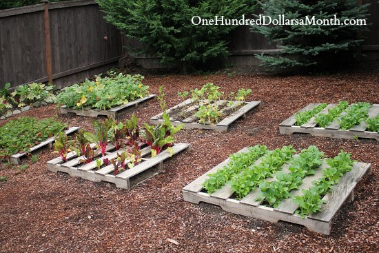 Pallet Garden Photos – Lettuce, Strawberries, Beans and Chard