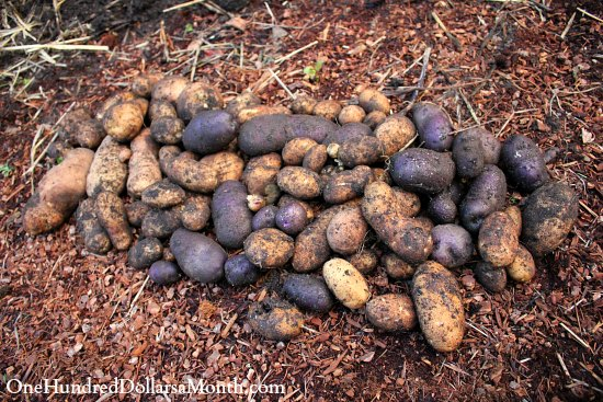 potato tower harvest