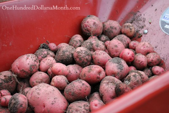 potatoes in wheelbarrow