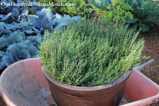 thyme in a container