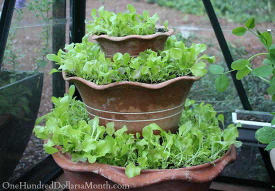 unusual garden containers lettuce