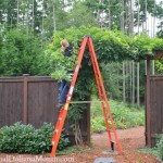 wisteria growing arbor