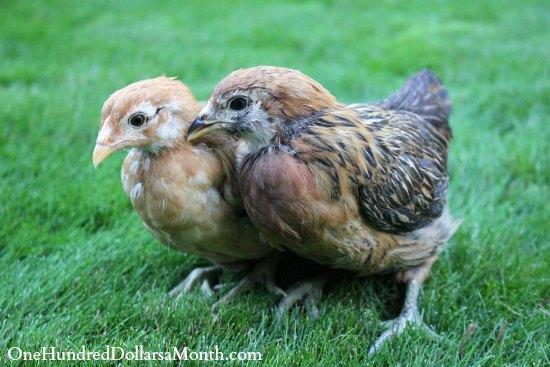 Araucana chicken chick