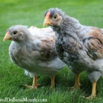 Raising Chickens – Baby Chick Update. I'm Pretty Sure We Have a Rooster